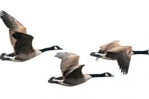 What can geese teach us about teams?