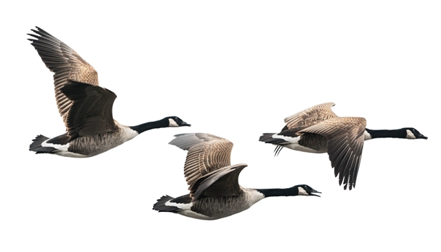 What can geese teach us about teams | Ancora Learning